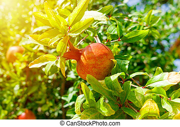 Ripe Colorful Pomegranate Fruit on Tree Branch. Sunny day close up