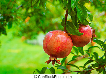 Ripe Colorful Pomegranate Fruit on Tree Branch. The Foliage...