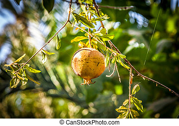 Ripe Colorful Pomegranate Fruit on Tree Branch. The Foliage on t