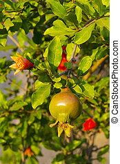 Ripe Colorful Pomegranate Fruit on Tree Branch.