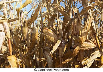 ripe corn before harvest