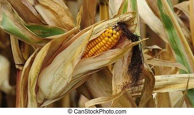 ripe corn cob in a field