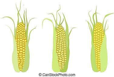 Ripe corn cobs isolated on white