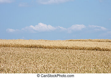 Ripe corn field and sky