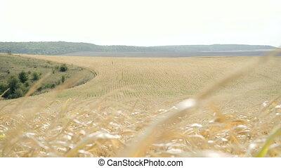 Ripe corn fields in windy day in 4K