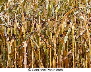 Ripe corn in a field