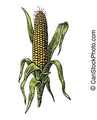 Ripe corn on the cob with leaf. Vector engraving illustration.