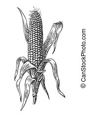 Ripe corn on the cob with leaf.  Vector vintage engraving illustration. Isolated on white background.