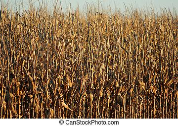 ripe cornstalks