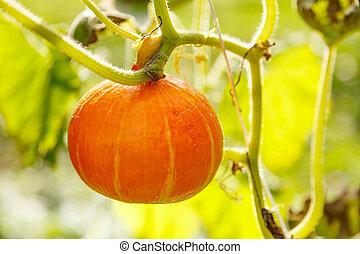 Ripe decorative pumpkin in garden