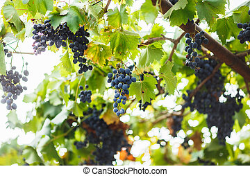 ripe delicious grapes growing in the vineyard