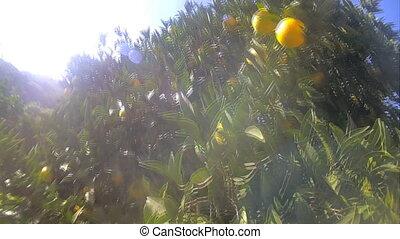 ripe delicious tangerine garden walk - camera is coming on...