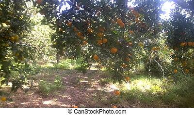 ripe delicious tangerine garden walk - garden, camera...