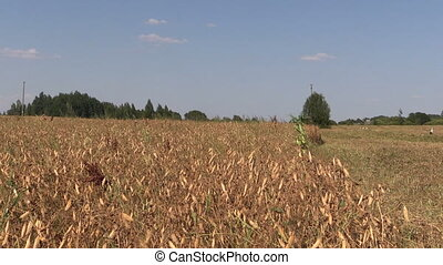 dry pea plants - Ripe dry pea plants grow in farm...