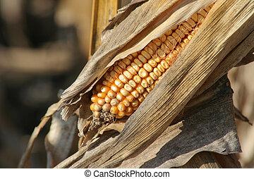 Ripe ear of corn