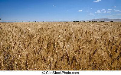Ripe ear of rye in the sunny day