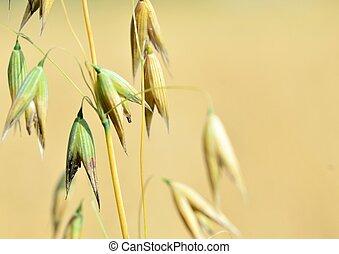 Ripe ears of oats on the summer field