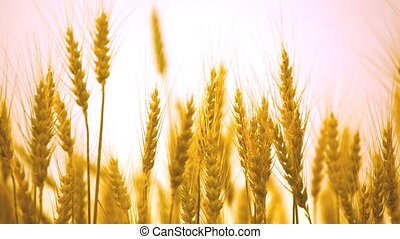 Ripe ears of wheat in the field wave on a wind