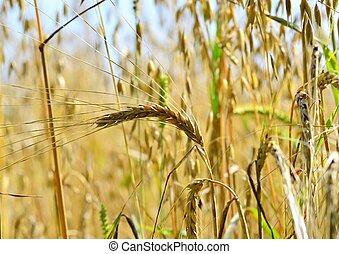 Ripe ears of wheat on the summer field