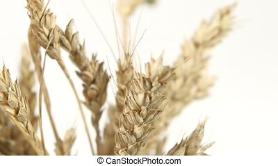 Ripe ears of wheat on white, close up, rotation