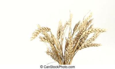 Ripe ears of wheat on white, rotation