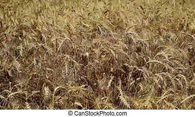Ripe ears of wheat