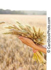 Ripe ears wheat in woman hands