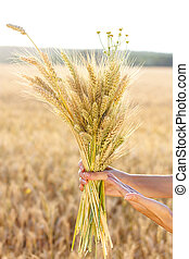 Ripe ears wheat in woman hands close-up