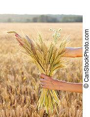 Ripe ears wheat in woman hands. Concept of abundance