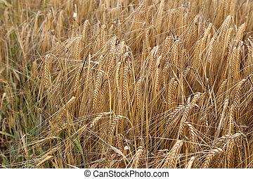 Ripe Eears Of Rye In The Field