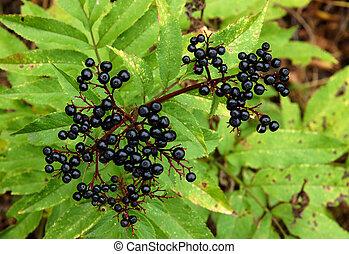 Ripe elderberry on branch
