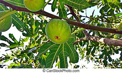 Ripe figs on a branch in the garden