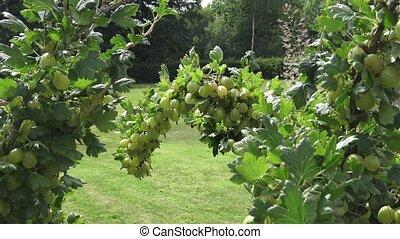 Ripe fresh green gooseberries in the garden.Growing organic berries closeup on a branch of gooseberry bush.