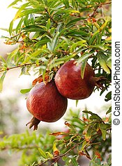 Ripe, fresh pomegranate hanging on a tree branch