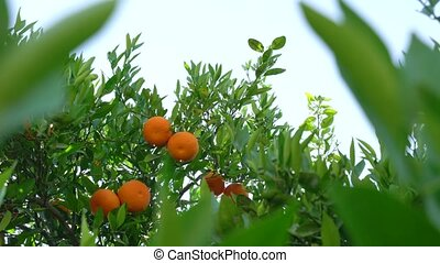 Ripe fresh tangerines on brunch in park on Cyprus