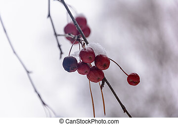 Ripe Frozen Fruit Of The Tree In The Winter