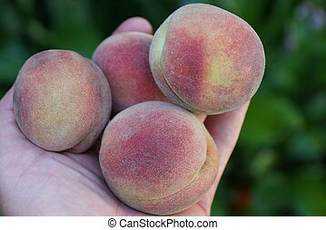 ripe fruit peaches on the palm of the hand - pile of ripe...
