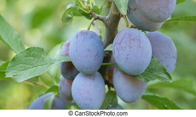 Ripe fruits Blue plums hang on tree branch - Ripe fruits...