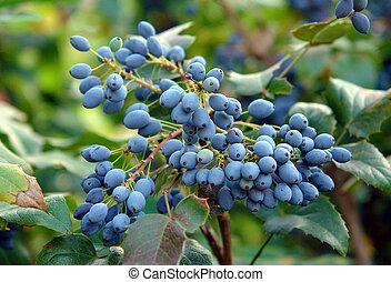 Ripe fruits of Mahonia