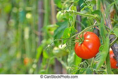 Ripe garden tomatoes - Ripe tomatoes ready to pick in a...