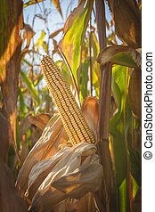 ripe golden mature corn cub - unharvested, isolated in the cornfield - autumn time