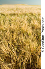 Ripe golden wheat 5 - Ripe Canadian wheat, fall wheat, or ...