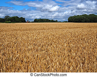 Ripe golden wheat in a field just before the harvest