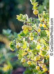 Ripe gooseberries growing on the bush in the garden