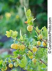 Ripe gooseberries growing on the bush in the garden.