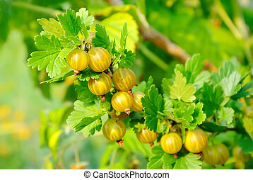 Ripe gooseberries in the garden