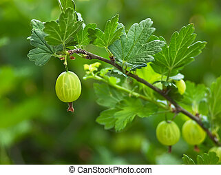 Ripe gooseberries on a branch