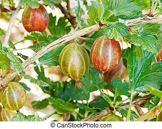 ripe gooseberry berries close up on green bush in garden in summer day