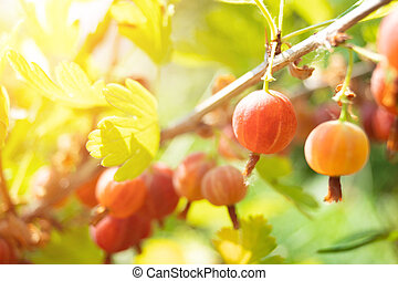 ripe gooseberry on a branch with leaves