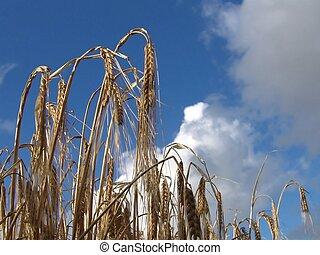 Ripe - Grain ready for harvest